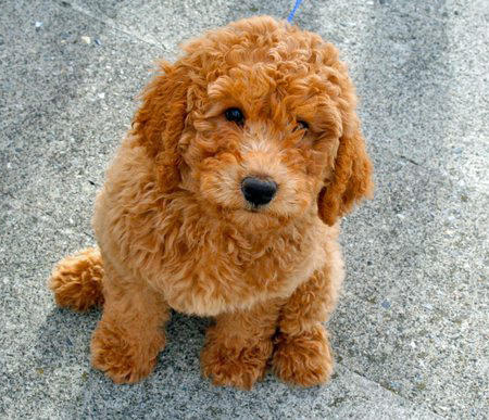 red orange labradoodle