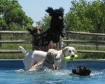 Labradoodles Love the Water