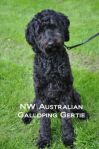 NW Australian Galloping Gertie