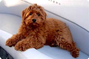 Red Australian Labradoodle on a Boat